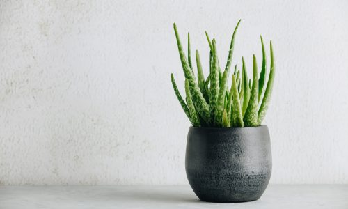 Aloe vera plant in design modern pot and white wall mock up